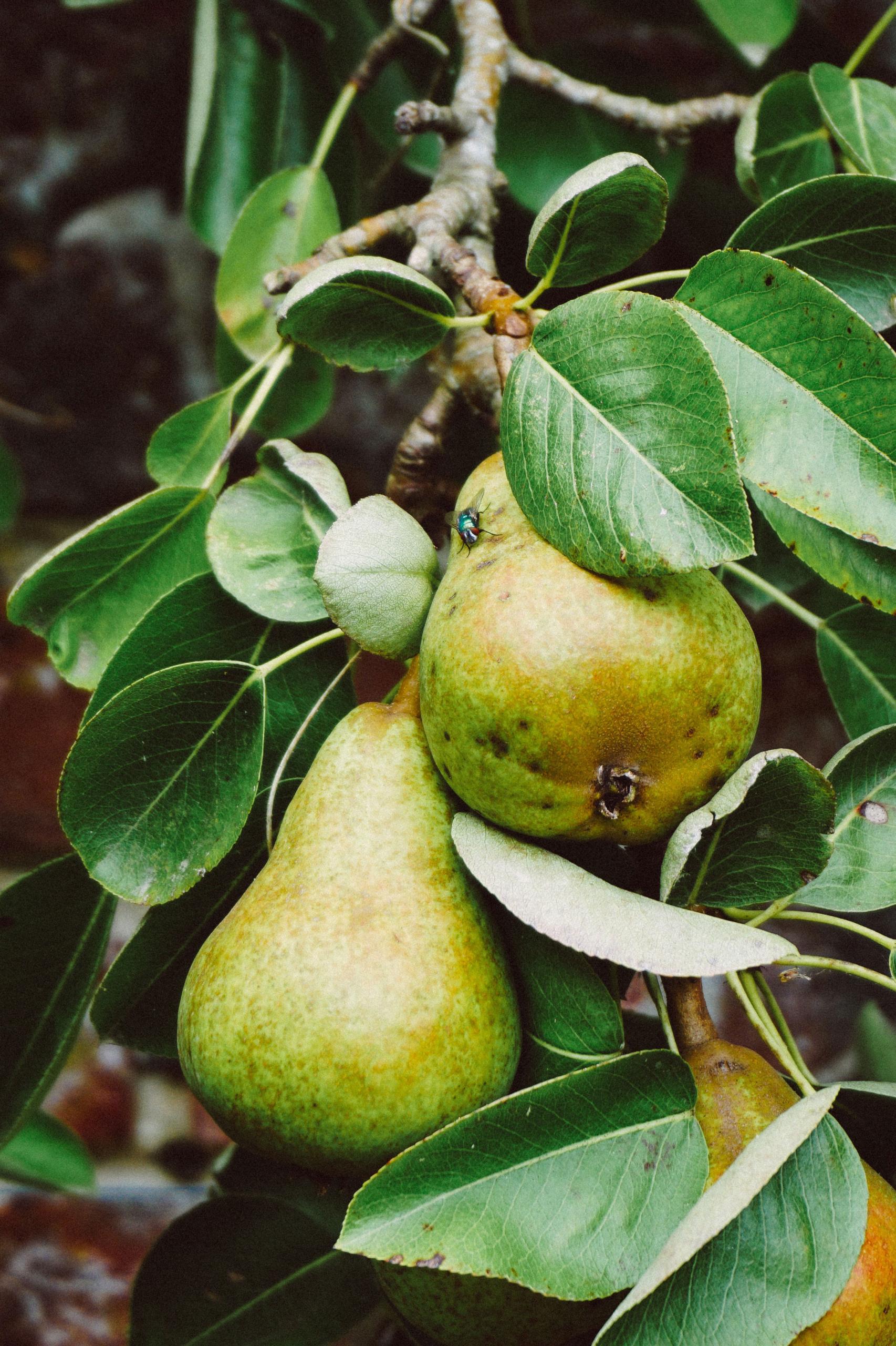Zeit für die Schönsten vom Baum: 2 Rezepte mit Birnen und Quitten